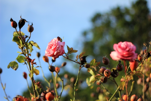 A few winter roses in Les Jardins des Plantes.